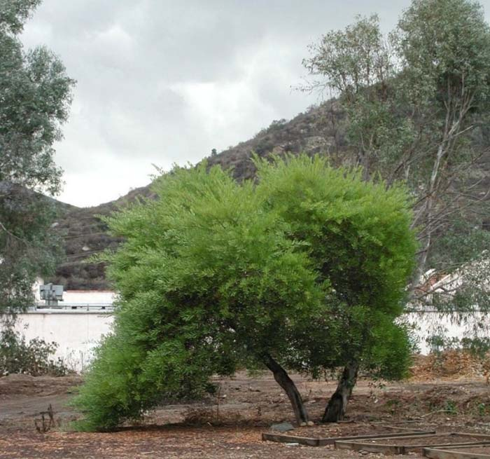 Plant photo of: Acacia longifolia