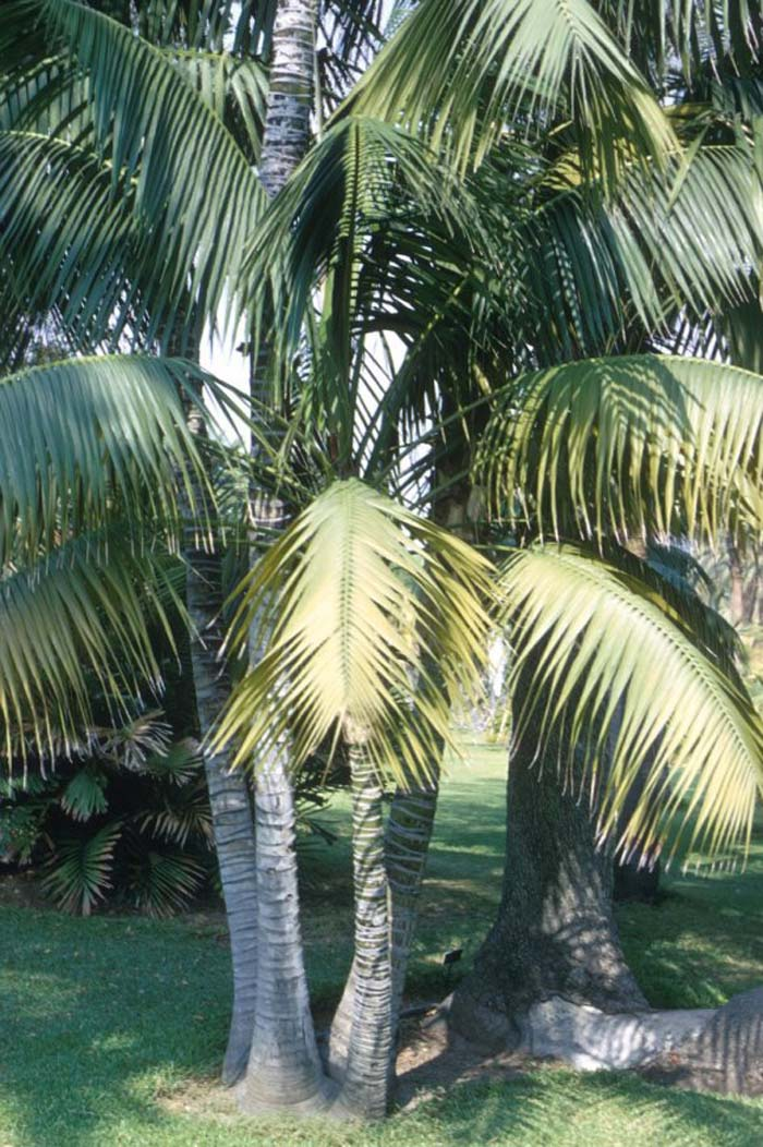 Plant photo of: Howea forsteriana