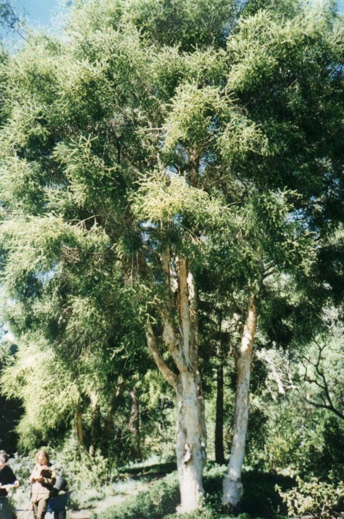 Plant photo of: Melaleuca stypheliodes