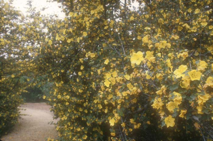 Plant photo of: Fremontodendron 'Pacific Sunset'
