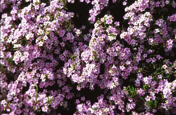 Plant photo of coleonema pulchrum