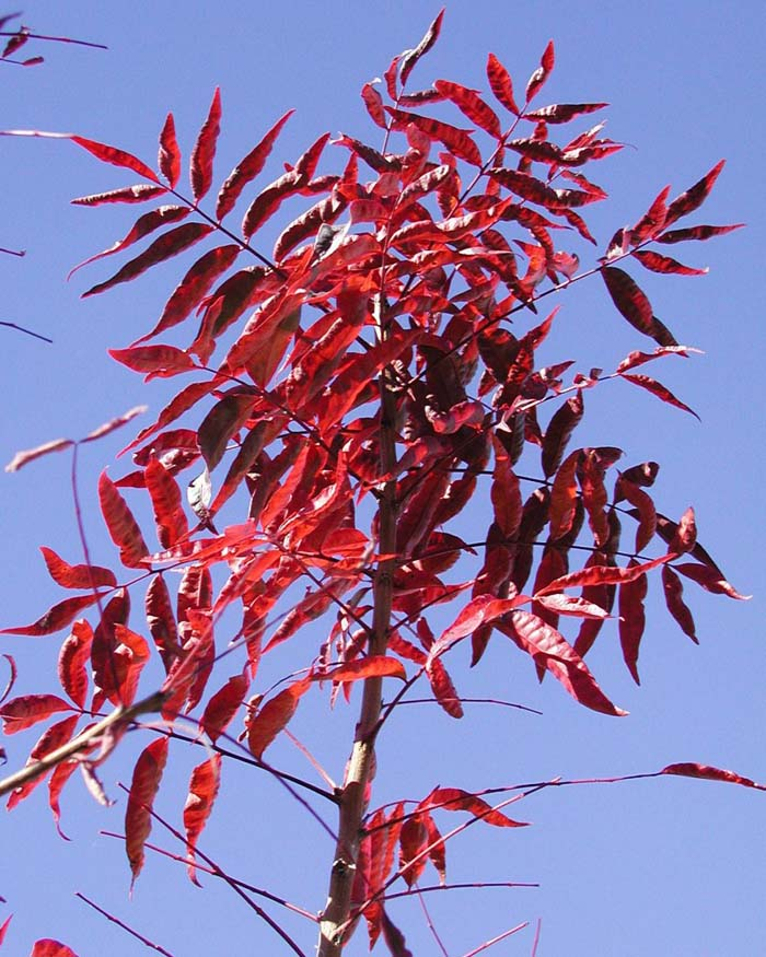 Plant photo of: Pistacia chinensis 'Red Push'
