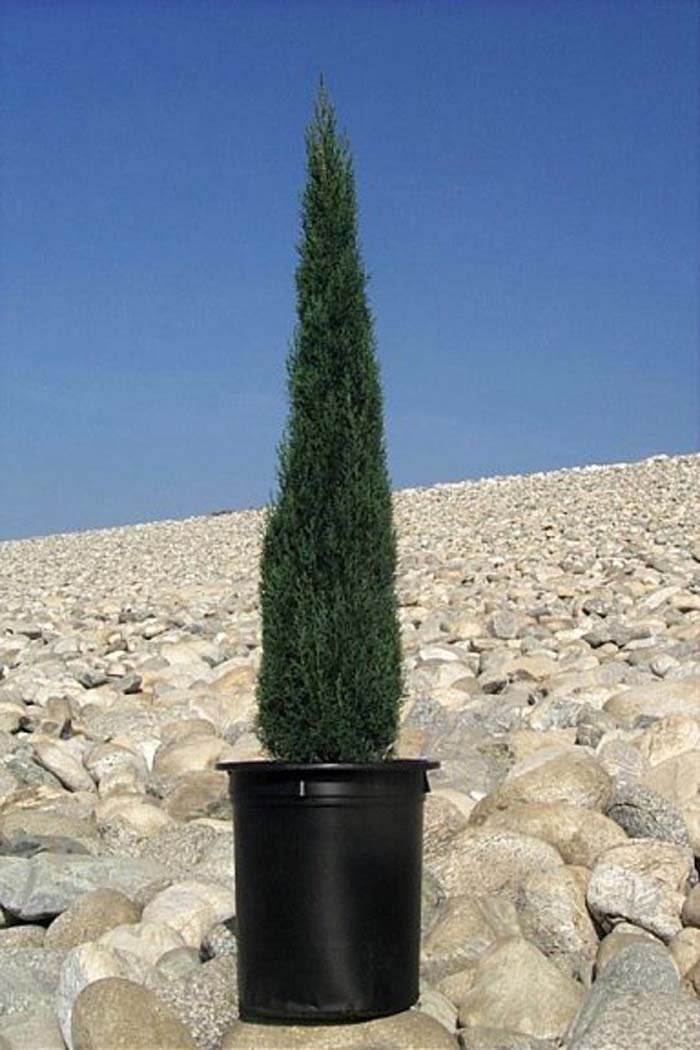 Plant photo of: Cupressus sempervirens 'Tiny Towers'