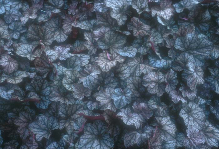 Plant photo of: Heuchera 'Persian Carpet'