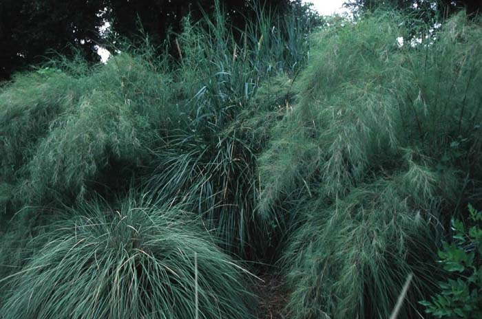 Plant photo of: Muhlenbergia dumosa