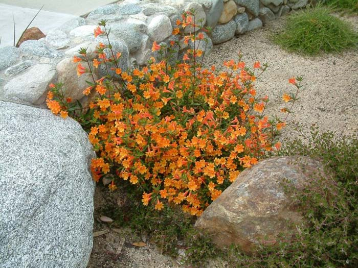 Plant photo of: Mimulus 'Pumpkin'