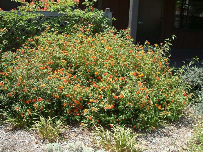 Plant photo of: Lantana 'Radiation'
