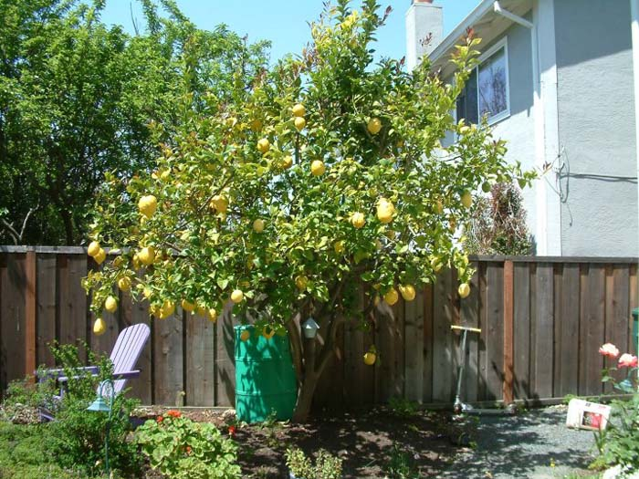 Plant photo of: Citrus limon 'Eureka'