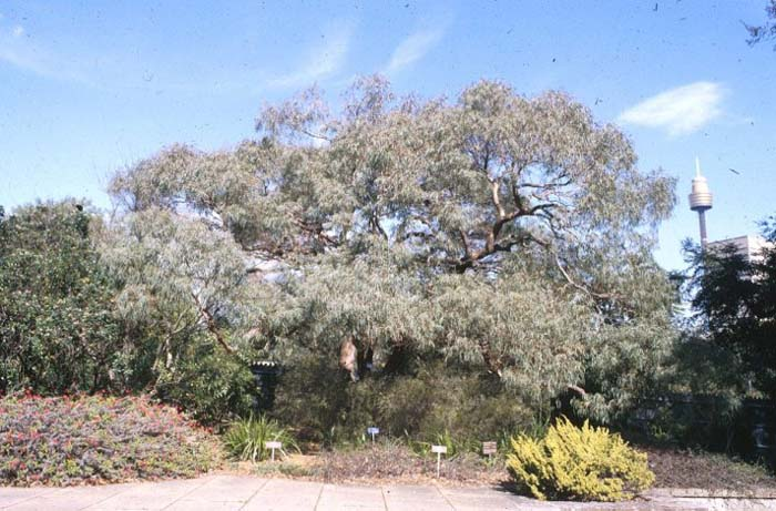 Plant photo of: Eucalyptus nicholii