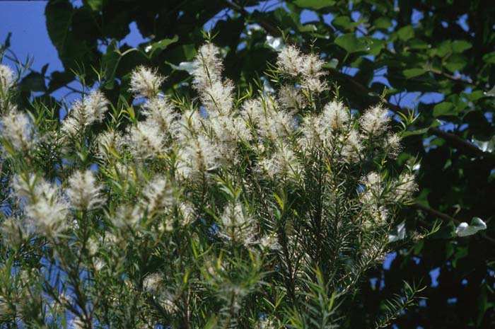Plant photo of: Melaleuca linariifolia