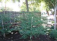 Sequoia sempervirens 'Aptos Blue'