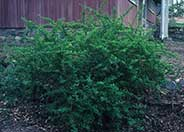Japanese Barberry, Gold Barberry