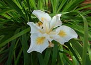 Iris Pacific Coast Hybrid 'Canyon Snow'