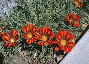 Copper King Gazania